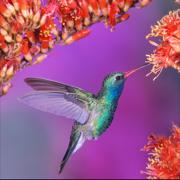 Hummingbirds Encyclopedia