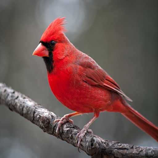 Cardinal Sound Effects - High Quality Bird Watching Sounds