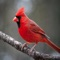 Cardinals, in the family Cardinalidae, are passerine birds found in North and South America
