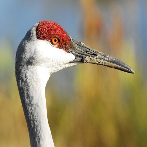Crane Bird Sound Effects - High Quality Bird Calls of a Big Bird