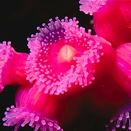 Sea Anemone Bible