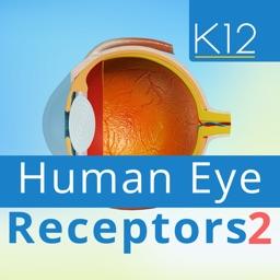 Human Eye Receptors 2