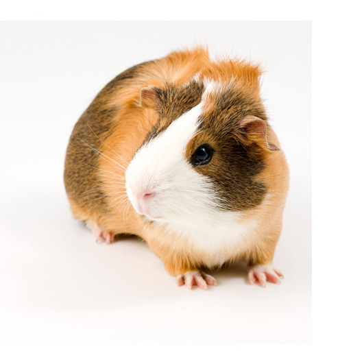 Guinea Pig Sounds - Annoy your friend with your fake pet