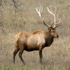 Elk Calls - Amazing High Quality Sound Effects Great for Hunting