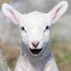 Talking Lamb