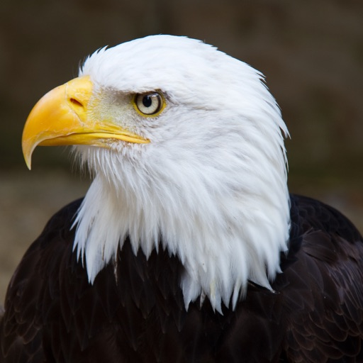 Eagle Calls - Great Bird Watching Sound Effects