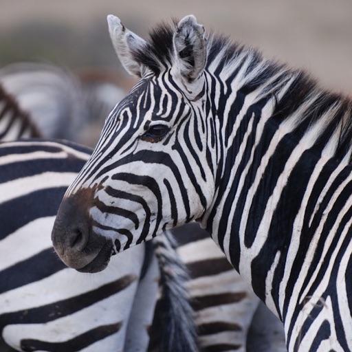 Zebra Skins Wallpapers, Best Zebras Print Designs