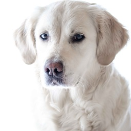 Golden Retriever: Dog Breed Guide